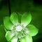 Jade Lily