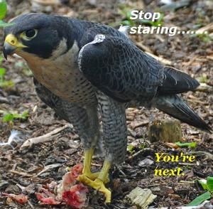 Evil Falcon of Doom