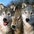 Keira91_WolfQUEEN